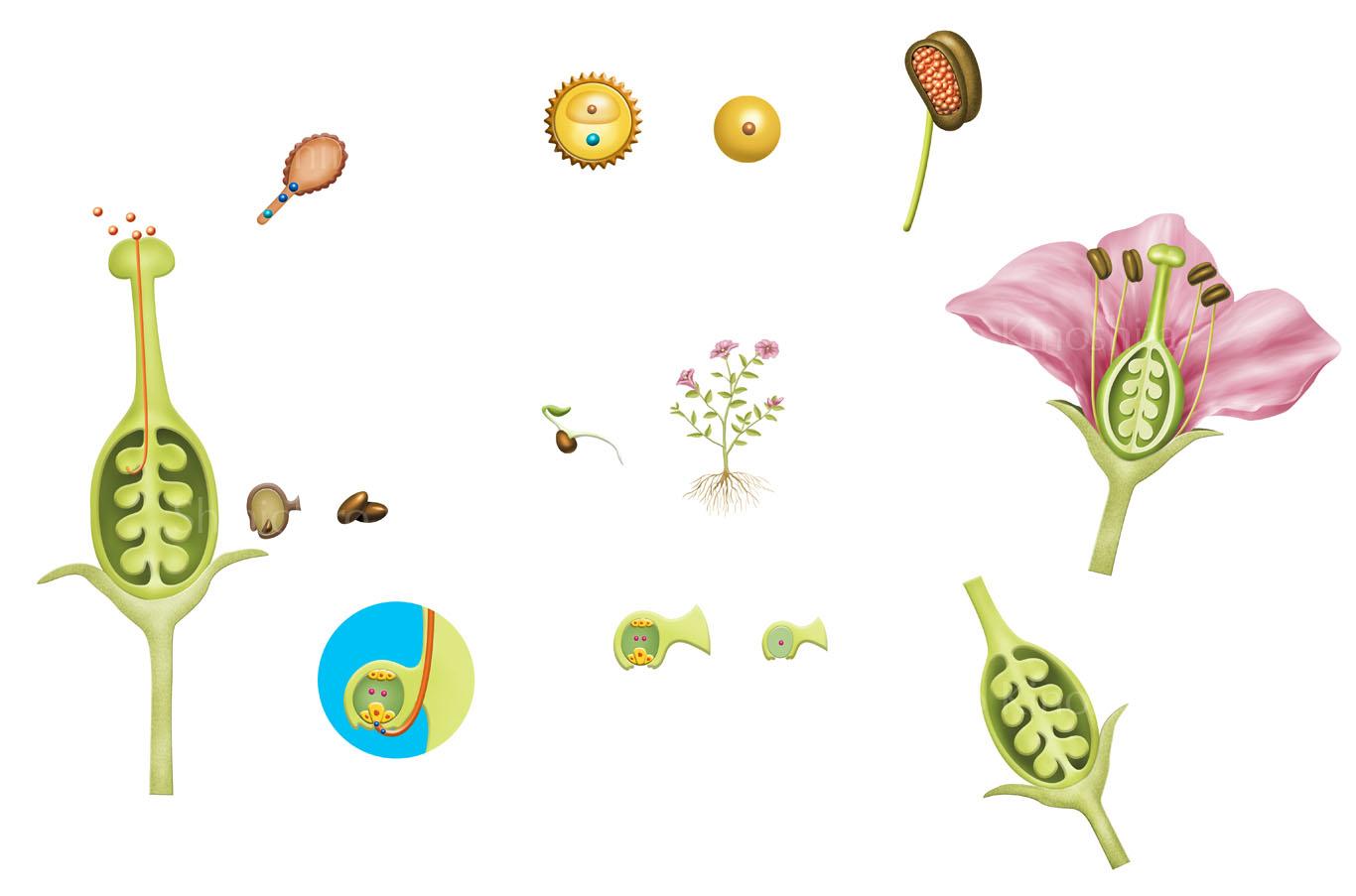 被子植物の一生ー「週刊 地球46億年の旅」朝日新聞出版